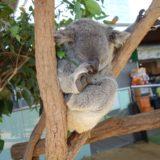コアラ抱っこ禁止のシドニーで記念撮影できる「ワイルドライフ シドニー動物園」をレポート!